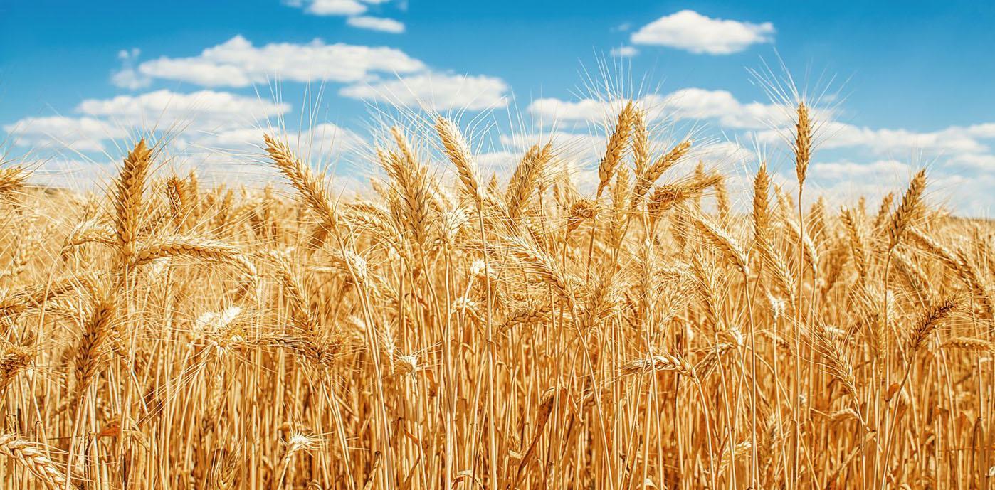 wheat-field.jpg