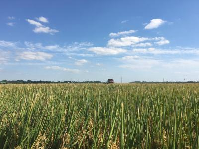 Picture of Rice Field