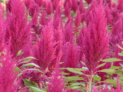 Field of amaranth