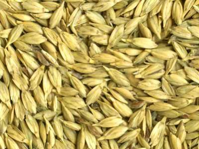 Spelt in the hull (USDA photo)