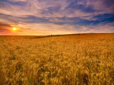 A sunny field of Kamut