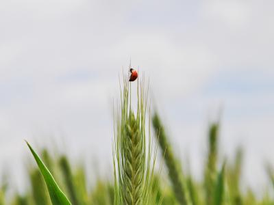 Ladybug on a sheaf of tritordeum