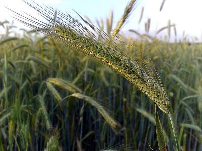 Rye in Field