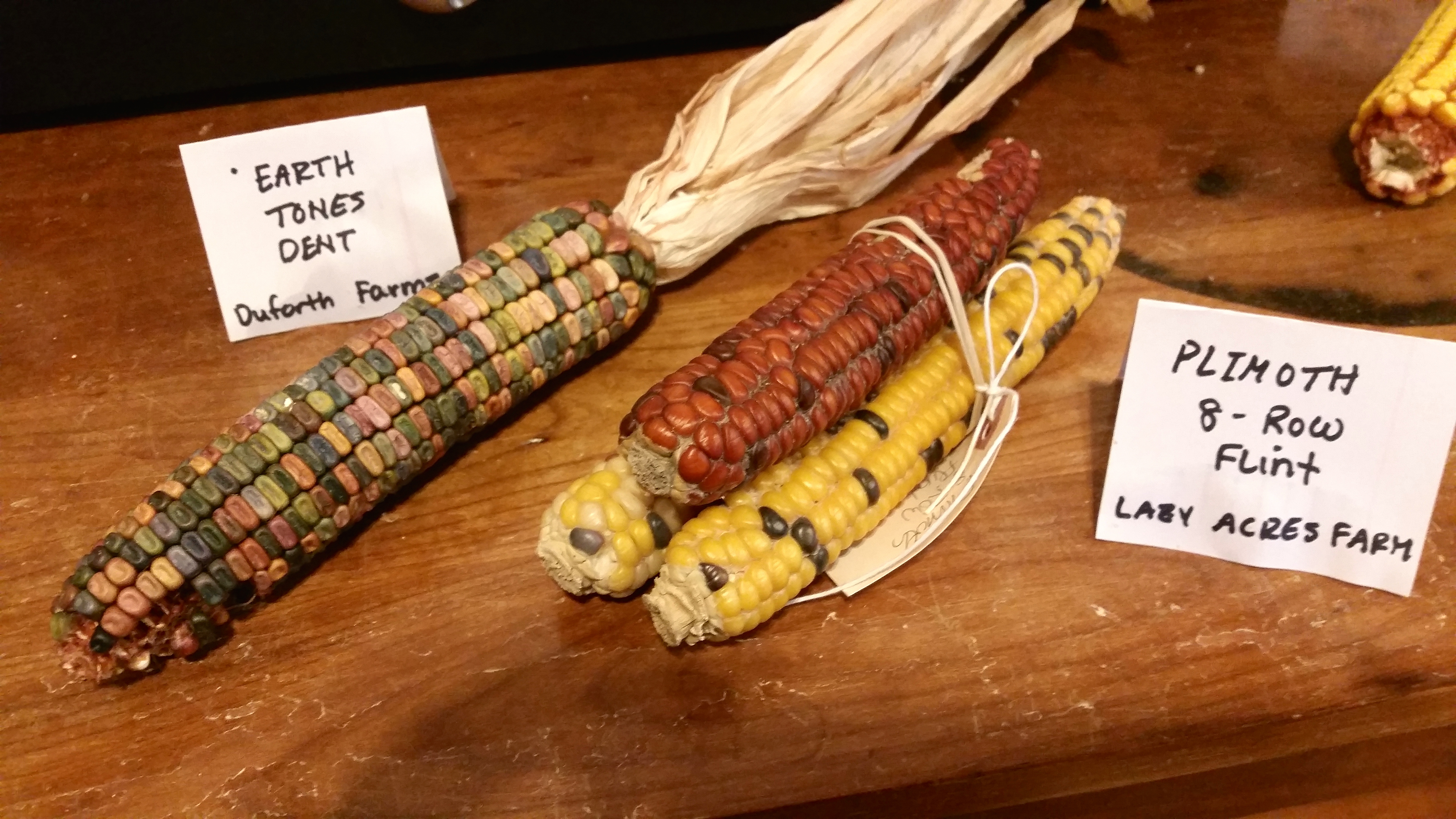 Two examples of flint corn varieties being grown locally