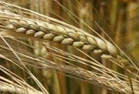 BarleyGrowing.jpg