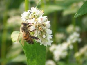 Bee_and_buckwheat_flower.jpg
