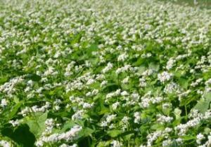 Cornell_buckwheat_field2.jpg