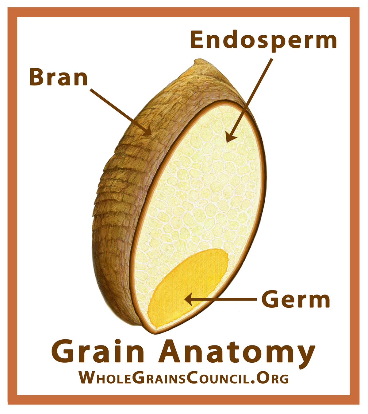 What Is A Whole Grain The Grains Council Simple Plant Cell Diagram Labeled For Kids Parts