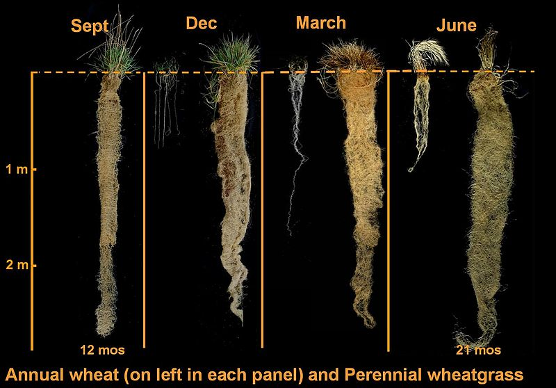 Perennial wheat roots (on right) vs annual wheat roots