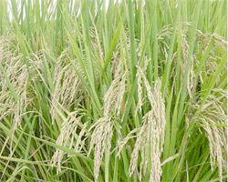 RiceGrowingField_USDA.jpg