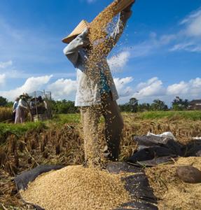 RiceWinnowing Fotolia 53741972 XS.jpg