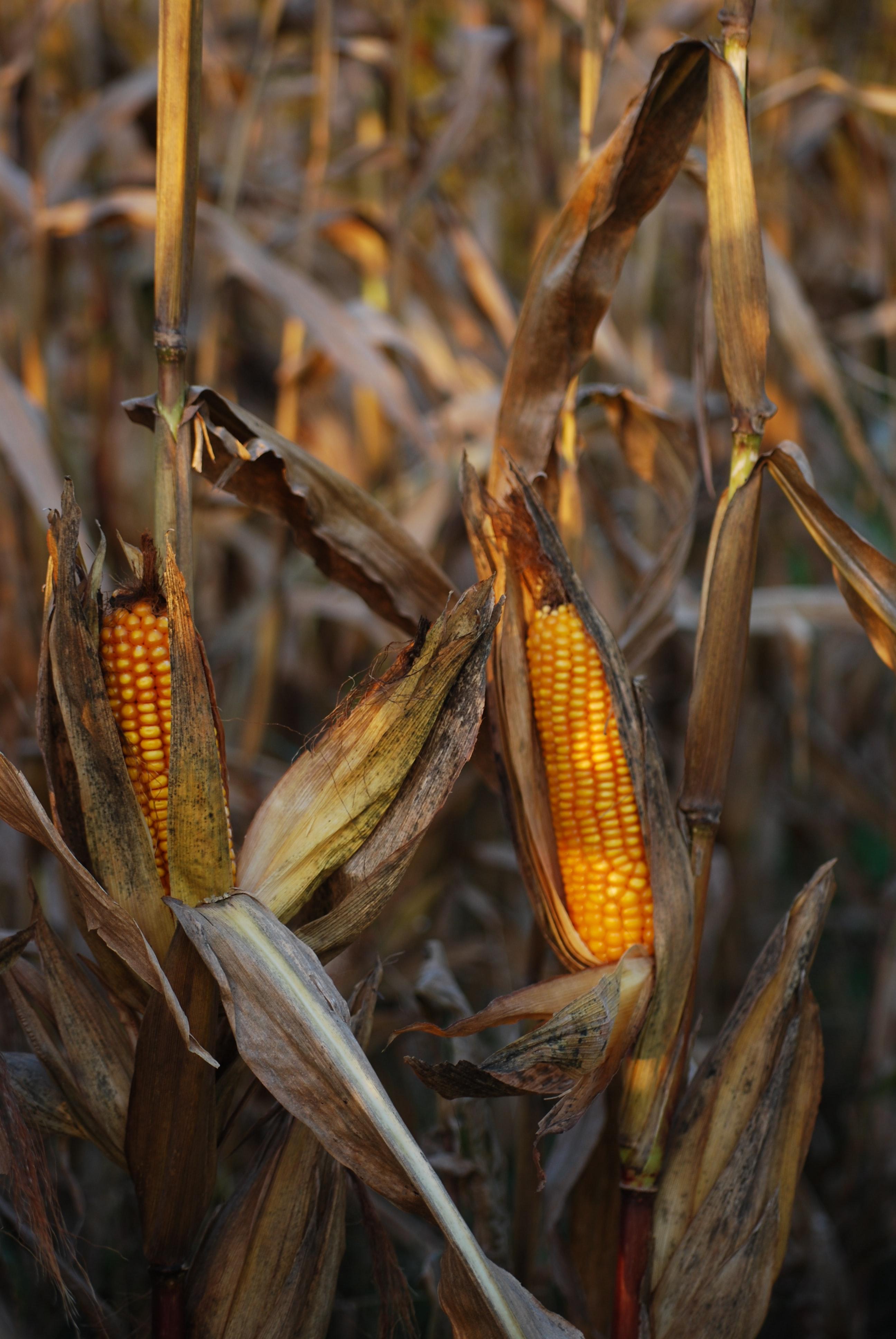 Ears of corn growing in a field