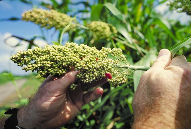 sorghum plants